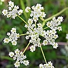 Essential Oil, Caraway