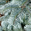 Fragrance, Blue Spruce