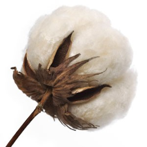 Fragrance, Cotton Blossom BBW