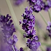 Essential Oil, Lavender 40/42