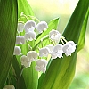 Fragrance, Lily of the Valley
