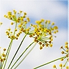 Essential Oil, Fennel Sweet