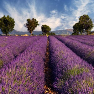 Fragrance, Lavender Fields (Fresh)