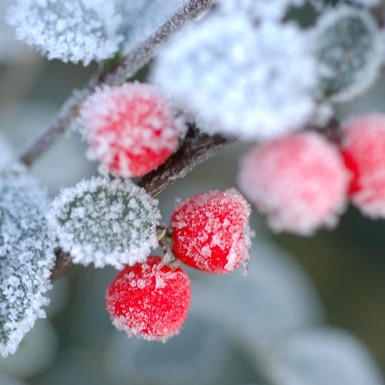 Fragrance, Winter Berry Blast
