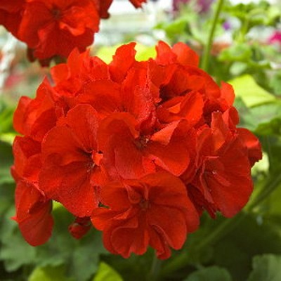Essential Oil, Geranium Egyptian