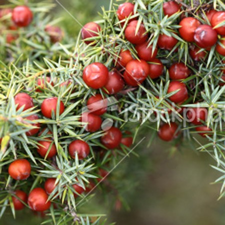 Essential Oil, Juniper Berry (India)