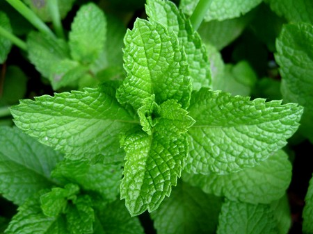 Essential Oil, Peppermint Supreme
